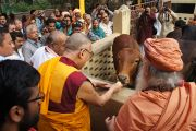 Его Святейшество Далай-лама кормит корову во время посещения ашрама Шри Убасина Каршни. 12 марта 2013 г. Матхура, штат Уттар-Прадеш, Индия. Фото: Тензин Такла (офис ЕСДЛ).